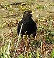 Blackbird (33241165402).jpg