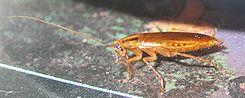 Blattella Kackerlacka Cockroach.jpg