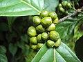 Blepharistemma serratum fruits at Periya 2014 (2).jpg