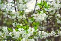 Blossoms cicekler svln4821 05.jpg