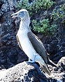 Blue-footed Booby (32858377727).jpg