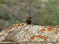 Blue Rock Thrush (Monticola solitarius) (19719202926).jpg