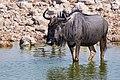 Blue Wildebeest 2019-07-25.jpg