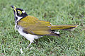 Blue cheeked honeyeater 8 (16522858041).jpg