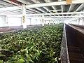 Blue field tea factory 2017-10-24 (2).jpg