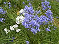 Bluebells and whitebells in the grounds of St Catherine's Chapel, Lydiate.jpg