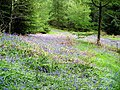 Bluebells in Kirroughtree Forest - geograph.org.uk - 431951.jpg