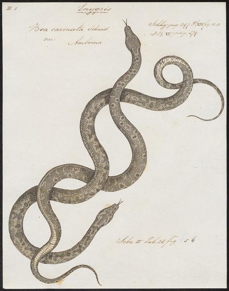 File:Boa carinata - 1734-1765 - Print - Iconographia Zoologica - Special Collections University of Amsterdam - UBA01 IZ11900097.tif