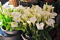 Bocas de jarro no Mercado dos Lavradores - Apr 2011.jpg