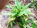 Boesenbergia rotunda.jpg