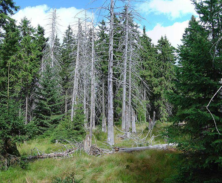 Plik:Bog spruce forest.JPG