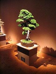 Bonsai IMG 6407.jpg