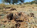 Botswanan stapeliads - Gaborone Nat Bot Gardens Stapelia 2.jpg