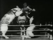 Fichier:Boxing cats (1894) - yt.webm
