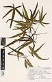 Brachychiton rupestris (T.L.Mitch. ex Lindl.) K.Schum. (AM AK210553-1).jpg
