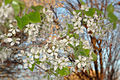 Bradford Pear Blossoms (8782652531).jpg