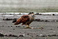 Brahminy Kite (Haliastur indus) eating fish W IMG 9587.jpg