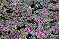 Brassica Nagoya Rose 1zz.jpg