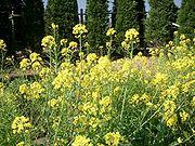 Brassica rapa ja01.jpg