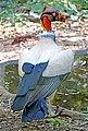 Brazil-01600 - King Vulture (48995481302).jpg