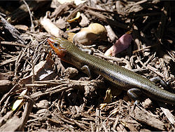 Broad-headed skink.jpg