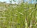 Bromus japonicus (27493182512).jpg