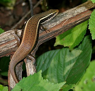 Scincomorpha - Image: Bronze Grass Skink (Mabuya macularia) W IMG 2753
