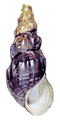 Brotia sumatrensis shell.png