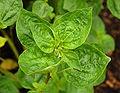 Browallia americana Leaves 1800px.jpg