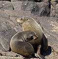Brown fur seals cow & pup.jpg