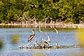 Brown pelican and tricolored heron (33310063106).jpg