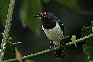 Wattle-eye family of birds