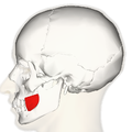 Buccinator muscle lateral.png