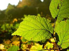 Buchenblatt im Herbst.jpg