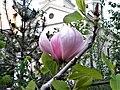 Bucuresti, Romania. Aprilie 2018. Boboc de magnolie.jpg