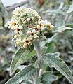 Buddleja Silver Anniv. emergent flowers, March.jpg