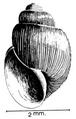 Bulinus reticulatus shell.png