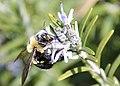 Bumblebee in Bartholdi Park (8621859919).jpg