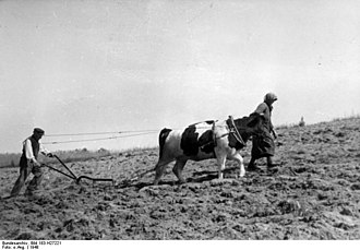 History of Pomerania (1945–present) - Peasant ploughing his newly assigned soil with an ox, 1948
