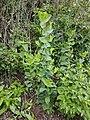 Bupleurum rotundifolium sl55.jpg