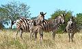 Burchell's Zebra (Equus quagga burchellii) (6022151674).jpg