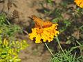 Butterfly in Uttarakhand, India (1).JPG