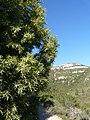 Càdec prop del barranc del Solito amb la lloma del Burgar de fons P1170117.JPG