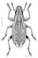 COLE Curculionidae Sitona lepidus.png