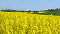 CSIRO ScienceImage 3648 Wheat and Canola Crops.jpg