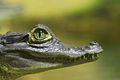 Caïman à lunettes à La planète des Crocodiles.jpeg