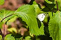 Cabbage white (36395794514).jpg