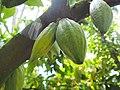 Cacao fruit.jpg