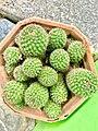 Cactus near Yendada, Visakhapatnam.jpg