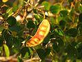 Caesalpinia in Celestún Estuary - Flickr - treegrow.jpg